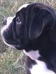 Generational Olde English Bulldogge