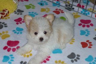 Papitese Puppy for sale in TUCSON, AZ, USA