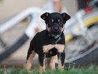 Australian Kelpie Puppies Available Now