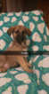 Puppy 1 German Shepherd Dog-Goldendoodle Mix