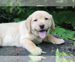 Puppy 4 Labrador Retriever