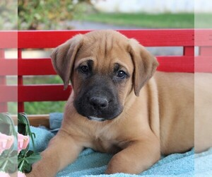 Cane Corso-Labrador Retriever Mix Puppy for sale in CHARLOTT HALL, MD, USA