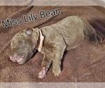 Puppy 3 Chesapeake Bay Retriever