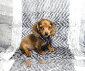 Dachshund Puppy for Sale in HAWESVILLE, Kentucky USA