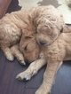 Goldendoodle Puppy For Sale in CLEVELAND, OH,