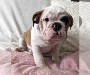 English Bulldog Puppy for Sale in CHARLESTON, South Carolina USA