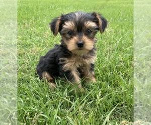 Yorkshire Terrier Puppy for Sale in PARIS, Texas USA