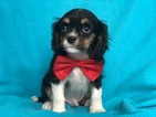 Cavalier King Charles Spaniel Puppy For Sale in PEACH BOTTOM, PA, USA