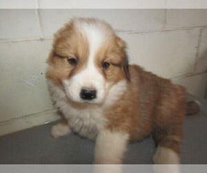 English Shepherd Puppy for sale in KOKOMO, IN, USA