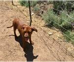 Small Photo #8 America Bandogge Mastiff-Mastiff Mix Puppy For Sale in FORT GARLAND, CO, USA