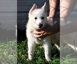 German Shepherd Dog Puppy for sale in MOUNT VERNON, WA, USA