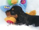 Dachshund Puppy For Sale in BEN WHEELER, TX, USA