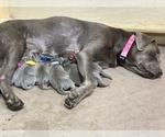 Puppy 4 Labrador Retriever