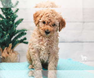 Goldendoodle Puppy for Sale in CARLOCK, Illinois USA
