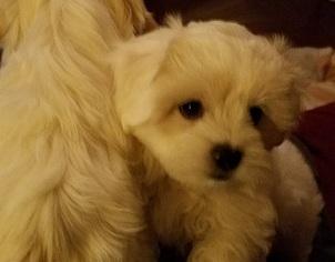 Maltipoo Puppy For Sale in DOUGLASVILLE, GA, USA