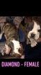 Small #4 Olde English Bulldogge