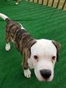 Puppy 9 American Bulldog