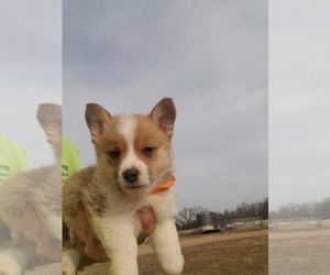Pembroke Welsh Corgi Puppy for Sale in MOUNTAIN GROVE, Missouri USA