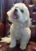 Bichon Frise Puppy For Sale in MOUNT TABOR, NC, USA