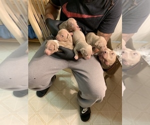 American Pit Bull Terrier Puppy for sale in LAWRENCEVILLE, GA, USA