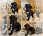 Puppy 5 Great Dane