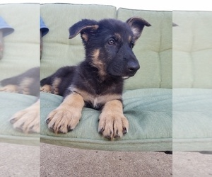 German Shepherd Dog Puppy for sale in ELKHART, IN, USA