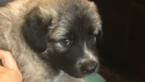 Anatolian Shepherd Puppy For Sale in PEORIA, AZ,