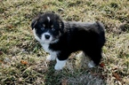 Australian Shepherd Puppy For Sale in ROBERTS, IL