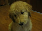 Goldendoodle Puppy For Sale in LEBANON, TN, USA