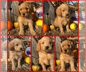 Labradoodle Puppy for sale in APOPKA, FL, USA
