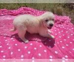 Puppy 6 English Cream Golden Retriever