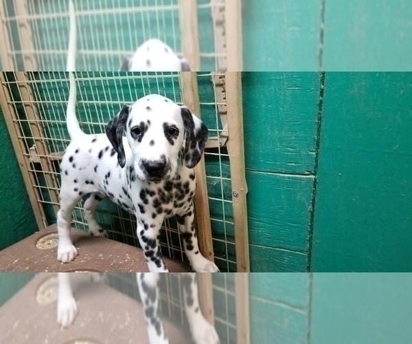Medium Photo #3 Dalmatian Puppy For Sale in DUVALL, WA, USA