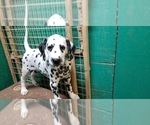 Small Photo #3 Dalmatian Puppy For Sale in DUVALL, WA, USA