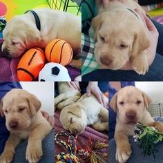 Lab-Pointer Puppy For Sale in SUMMERVILLE, SC, USA