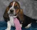 Basset Hound Puppy For Sale in THAYER, MO, USA