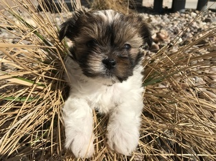 Mi-Ki Puppy for sale in GRAND ISLAND, NE, USA