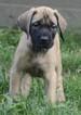 Mastiff Puppy For Sale in CADILLAC, MI, USA