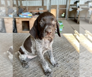 German Shorthaired Pointer Puppy for sale in WARSAW, NC, USA