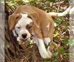 Small #1 American Bulldog