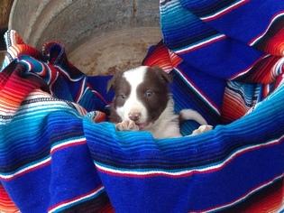 Border Collie Puppy For Sale in ALAMOGORDO, NM, USA