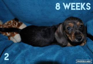 Dachshund Puppy for sale in HAVILAND, KS, USA