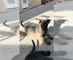 Belgian Malinois Puppy for sale in OXNARD, CA, USA