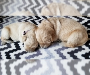 Golden Retriever Puppy for Sale in MIDDLEBURG, Virginia USA