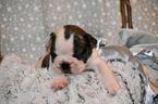 French Bulldog Puppy For Sale in CARNESVILLE, GA, USA