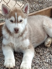 Siberian Husky Puppy for sale in TUCSON, AZ, USA