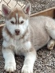 Siberian Husky Puppy For Sale in TUCSON, AZ, USA