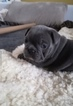French Bulldog Puppy For Sale in MIAMI, Florida,