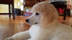 Poodle (Standard) Puppy For Sale in MANASSAS, VA