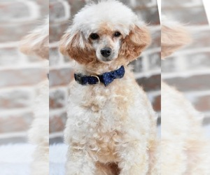 Poodle (Miniature) Puppy for sale in SPRING BRANCH, TX, USA
