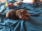 English Bulldog Puppy For Sale in POWHATAN, Virginia,